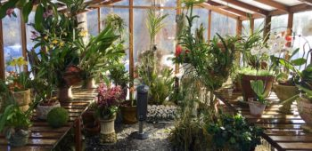 Beautiful flowers and plants growing inside a redwood and polycarbonate backyard greenhouse.