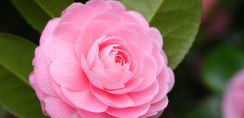 Flower Feature: Camellias