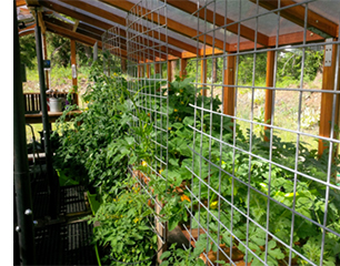 Tomatoes growing in a redwood greenhouse kit.